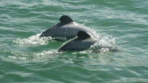 Two Māui Dolphins - the smallest dolphins in the world, native to New Zealand and endangered by commercial fishing practices. (Photo: ©Department of Conservation, New Zealand)