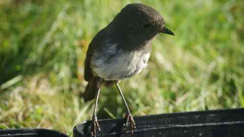 The South Island robin, one of New Zealand's native birds under threat from introduced mammals.