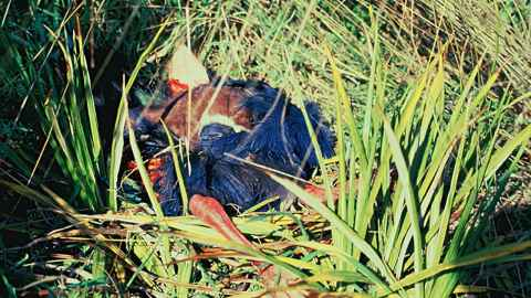 A stoat kills a takahē, a native bird that came back from near extinction but still at risk from predator attack. (Photo ©Department of Conservation, New Zealand)