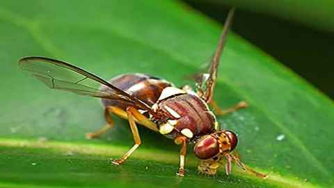 A single Queensland fruit fly (Bactrocera tryoni) was recently detected in Devonport. A full scale response has been triggered as it is regarded as a serious pest [Image: Bugwood.org used by permission Plant Health Australia].