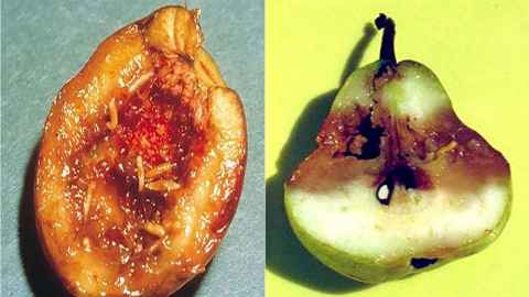 The devastation caused by fruit flies is shown in an apricot and a pear. (Images used by permission Plant Health Australia).