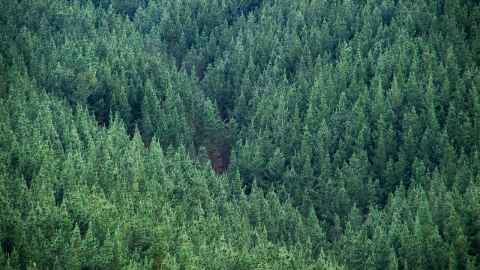 Pine trees are pictured filling a gully in New Zealand - the planting choice of foresters claiming funding under the Billion Trees policy rather than native trees.