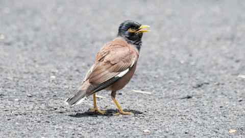 The common myna bird.