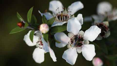 Manuka flowers with bee, By Avenue, Wikimedia