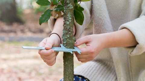 Student measuring a small tree