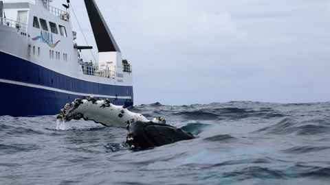 Whale beside NIWA vessel