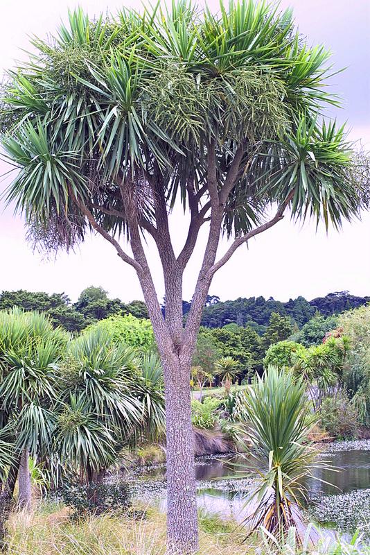 Cordyline australis - The University of Auckland