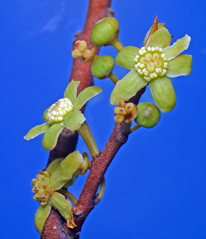 Mountain Horopito Pseudowintera colorata 10 seeds
